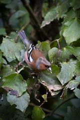 Chaffinch_6840.jpg (eyemac23 | Photography) Tags: newzealand bird canon wildlife wellington karorisanctuary aotearoa fringillacoelebs chaffinch fringillidae pahirini august2012