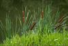 Cattails (paulduke1) Tags: dpsgreen