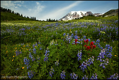 Welcome to Summertime (* Ian Rogers *) Tags: flowers mountain landscape volcano mt nps meadow mount mountrainier rainier mountrainiernationalpark wildflowers mtrainier nationpark mtrainiernationalpark landscapephotography ianrogers mrnp ianrogersphotography