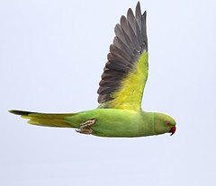 Delhi Rooftop: Rose-ringed Parakeet in flight (spiderhunters) Tags: bird parrot newdelhi nationalgeographic psittaculakrameri roseringedparakeet urbanbird cityparrot urbanparrot saaksharaapts paschimvihar