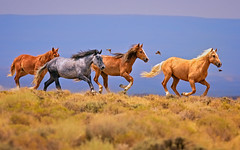 Wild Equine Exuberance (Fort Photo) Tags: wild horses horse nature birds animal speed mammal nikon bravo running wyoming mustang wildhorses avian equine interaction horsepower wy wildhorse loh d300 interactions galloping blueroan reddesert 2012a