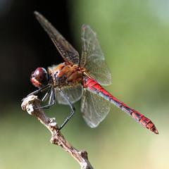 Bloedrode heidelibel  (Sympetrum sanguineum) (Ger Bosma) Tags: macro closeup dragonfly liblula libellule libel ruddydarter sympetrumsanguineum thegalaxy heidelibel blodrdngstrollslnda bloedrodeheidelibel blutroteheidelibelle symptrumsanguin szablakkrwisty mygearandme mygearandmepremium mygearandmebronze liblulaflecharoja flickrstruereflection1 flickrstruereflection2  img58730filtered bloedhopke