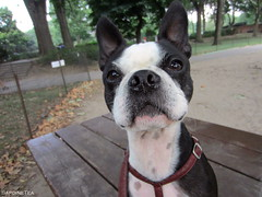 Pay Attention, Alvin (SardineTea) Tags: nyc newyorkcity newyork bostonterrier centralpark upperwestside uws dogwalking newyorkdogs centralparkdogs sardinetea newyorkcitydogs newyorkcitysdogs newyorksdogs