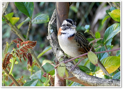 Rufous-collared Sparrow (Tico-tico) (arletepqt) Tags: brazil naturaleza bird nature brasil natureza passarinho pssaro vogel ticotico rufouscollaredsparrow zonotrichiacapensis piquetesp