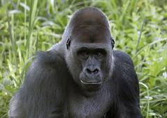Silverback gorilla 'Pertinax' (gentle lemur) Tags: gorilla paigntonzoo gggorilla