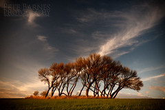 Trees in the Wind (Pete Barnes Photography) Tags: africa light sunset sky cloud tree art field grass sunrise landscape cool warm paint calm savannah landscapephotography landscapephotographer