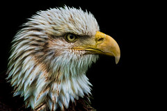 DSC09861a (Explore 28/8/12) (nick_scotcher) Tags: portrait birdofprey warwickcastle baldheadedeagle sal70300g topazadjust sonya77 highqualityanimals rememberthatmomentlevel1