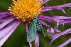 Forester Moth (smir_001 (on/off)) Tags: flowers wild summer mountain mountains macro green beautiful yellow closeup insect austria nationalpark europe european purple metallic moth meadow j