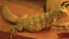 Orange Benti Uromastyx (orlando c) Tags: orange lizard uromastyx benti