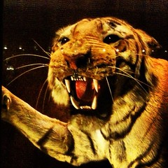 Day 6 - Mounted Tiger (akhenatenator) Tags: taxidermy worth1000