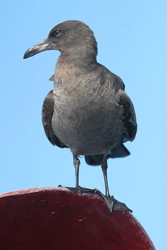 <p>Another Mexican winter breeder is the Heermann's Gull, this one not yet an adult. </p>