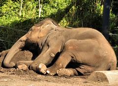 The perfect end to a bath (myopixia) Tags: elephant taronga tarongazoo elephasmaximus tangmo myopixia