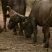 Bufalos brigando