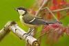 Great Tit (Louise Morris (looloobey)) Tags: garden acer perch greattit img6114 june2012 pausmajor
