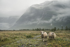 Wet sheep (koeb) Tags: wet rain fog nebel sheep wolken valley regen tal schafe nass austerdalsbreen tungestlen