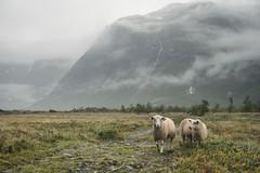 Wet sheep (koeb) Tags: wet rain fog nebel sheep wolken valley regen tal schafe nass austerdalsbreen tungestølen
