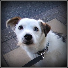 """Victor "".. (* Janets Photos*Site to slow to Comment) Tags: uk dogs canine victor jackrussell takenwithlove theinspirationgroup"