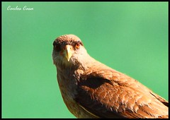 Chimango (Carlos Casa) Tags: naturaleza bird nature canon eos rebel sigma os apo ave pajaro dg xsi 563 tiuque hsm caracarachimango 450d chimango f563 150500 150500mm chiuque carloscasa