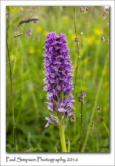 Wild Orchid (Paul Simpson Photography) Tags: orchid orchids flowers nature meadow grass naturalworld paulsimpsonphotography photoof photosof imageof imagesof sonya77 july2016 wildflower inbloom flowersinbloom flower outdoor plant flowering commonspottedorchid