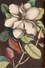 Southern magnolia, bull bay, loblolly magnolia (1771) (Swallowtail Garden Seeds) Tags: magnolia tree flower cone seed fruit foliage leaves blossom illustration vintage botanical plant drawing southern bullbay volume2 1771 18thcentury figure branches bud magnoliagrandiflora magnoliaceae botanicalillustration saveearth carolina florida bahamas catesby