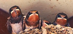 P7242167 (eriko_jpn) Tags: bird swallow chicks