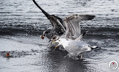 Seagulls Fighting (7716galaxy) Tags: nature colors animals macro sea beach zoo park mushrooms tortoise chameleon mouse turtle boat sun sky water flying baltic