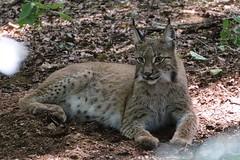 Junger Luchs (c4harry) Tags: tiere kellerwald chattengau edersee wildtierpark luchs