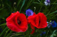 Czerwone i niebieskie 7 (Hejma (+/- 4500 faves and 1,5milion views)) Tags: uplandmiechowska polish poppies cornflowers buds flowers red blue green