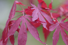 Acer (Nick.Ramsey) Tags: canonef100mmf28lmacro eos7dmarkii macro nickramsey plant red tree acer coloursofnature dof leaves