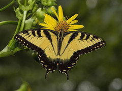 Eastern Tiger Swallowtail, male (Papilio glaucus) (AllHarts) Tags: maleeasterntigerswallowtailpapilioglaucus spac hollyspringsms naturesspirit thesunshinegroup naturescarousel ngc npc challengeclubchampions