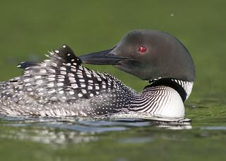 Plongeon Huard - Plongeon imbrin - Gavia immer - Great Northern Loon