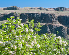 Spring in the Canyon (jamesdelbertanderson) Tags: canyon cliffs spring palouse whitmancounty colfaxtrail nature pnw washington easternwashington inlandnorthwest ninebark mallowninebark physocarpusmalvaceus