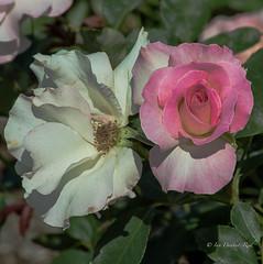 Close friends (idunbarreid) Tags: roses