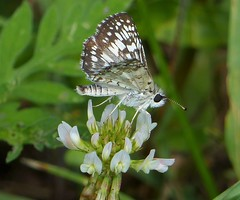 Common Checkered-Skipper (Pyrgus communis) (Nature In a Snap) Tags: crosswicks creek greenway province line road access plumstead township 2016 nature wildlife common checkeredskipper pyrgus communis butterfly butterflying butterflier lepidoptera winged new jersey nj
