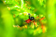 黑翅細蟴(若蟲) Conocephalus melas. (Taiwan-Awei) Tags: taiwanawei awei 林敬偉 蚱蜢 grasshopper 微距 macro 昆蟲 insect