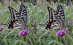 Papilio xuthus, stereo cross view (Mushimizu) Tags: papilioxuthus butterfly  stereo 3d cross