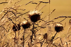 Summer in the countryside (Eugenio Sanchez Photography) Tags: thistle summer hot bokeh brown brownish gold golden light sun spain