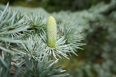 Seed cone growing on a blue spruce tree - Jardin du Luxembourg (Monceau) Tags: jardinduluxembourg seed cone growing bluespruce