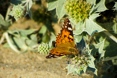 Golden butterfly (VKarpinchik) Tags: ukraine butterfly summer pricky plant orange golden sunlit vanessacardui bokeh macro closeup