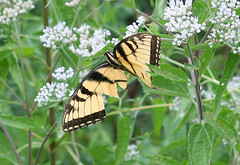 EASTERN TIGER SWALLOWTAIL (male)  in Staten Island, New York, USA. Sept 2016 (Tom Turner - SeaTeamImages / AirTeamImages) Tags: swallowtail easterntigerswallowtail tigerswallowtail butterfly winged insect nature wildlife yellow tomturner spot spotting statenisland newyork bigapple nyc usa unitedstates male