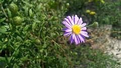 Aster flower (anaana15) Tags: purpleflower flower plant garden nature outdoors aster nofilter