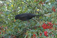 20151231 009 Avenue House, Finchley N3. Blackbird, Turdus merula (15038) Tags: birds aves finchley london n3 blackbird turdusmerula