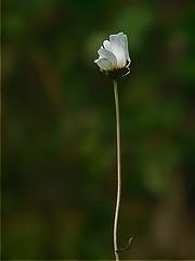 White flower (Hkan Jylh (Thanks for +250.000 views)) Tags: hkan jylh nikon coolpix l840 sweden sverige blomma flower white