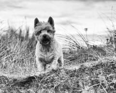 Buddy on the beach (adrian.sadlier) Tags: westhighlandwhiteterrier westie buddy dog velvetstrand portmarnock dunes beach