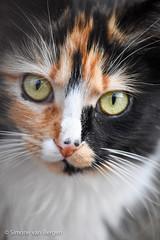Gorgeous Calico, called Fluffy (simonevanbergen) Tags: fluffy mrmew simonevanbergen svb tufty black blackandwhite calico cats garden kitten mew