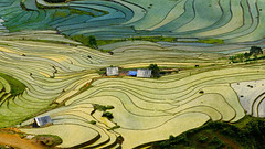 Terraced rice field (Vuong Cong Minh) Tags: highland soil terraced agriculture beautyinnature day elevatedview landscape mountain paddyfield rice riceterraces scenics terracedfield tranquilscene tree vietnam village aerial birdseyeview highangleview laocai view