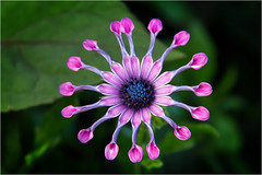 Osteospermum - Whirlygig (Petefromstaffs) Tags: flower powiscastlegardens nature unusual interesting canon 60d elements