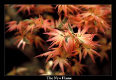 The New Flame (memedi27) Tags: tree japanesemaple maple melbourne australia sonya77 sony a77 garden macro closeup