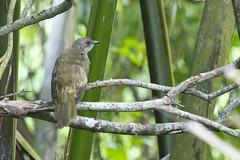Olive-winged Bulbul (christopheradler) Tags: malaysia olivewinged bulbul pycnonotus plumosus