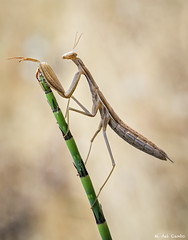 morenita (gatomotero) Tags: mantidae nature olympusomdem1 mzuiko60 parda mantis booked ambiente